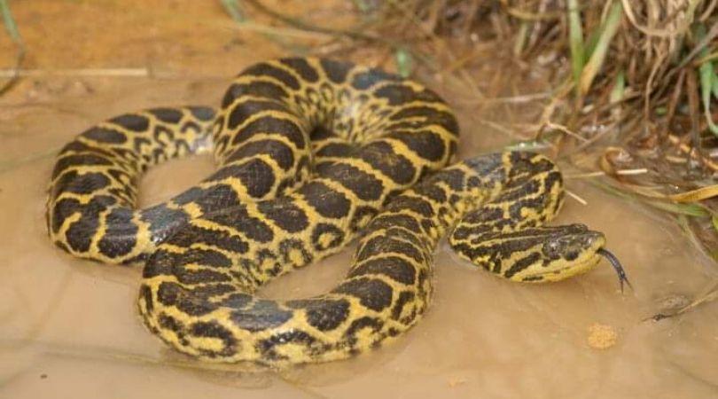 Ular Terbesar di Dunia Anaconda Yellow