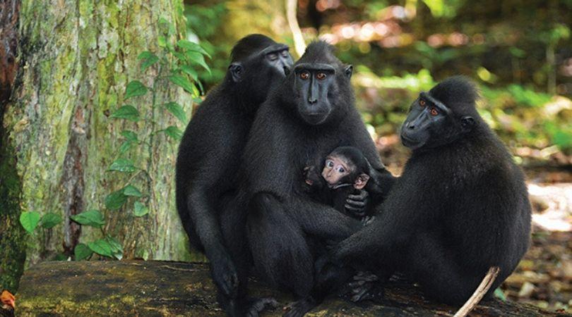 Monyet Hitam