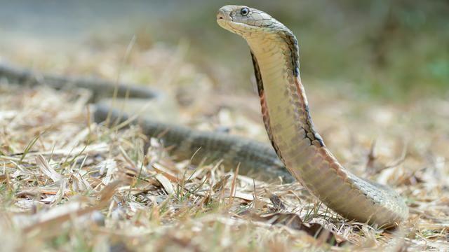 Kobra Hutan