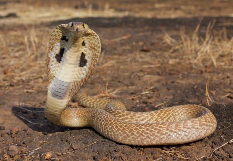 Kobra Kaca-tunggal