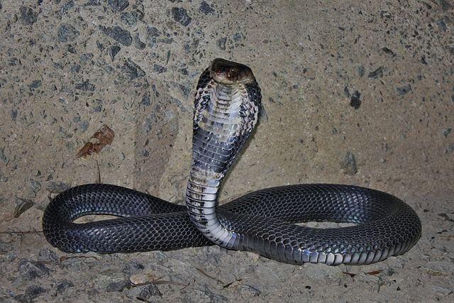 Kobra Cina