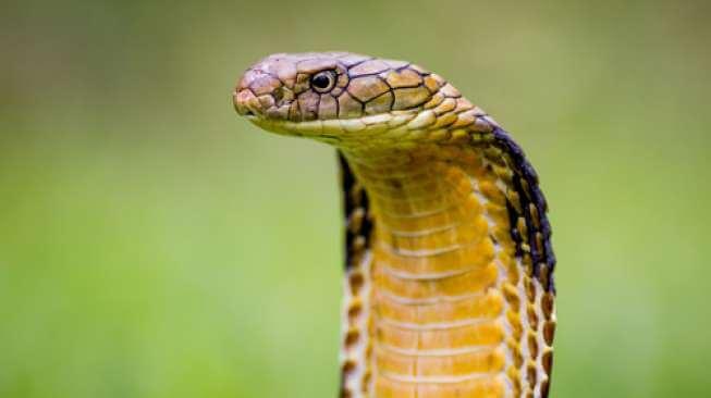Ular kobra terbesar di dunia