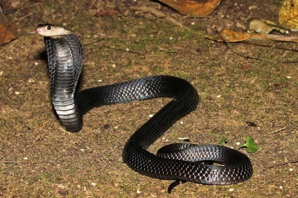 ular sendok sumatera