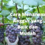 Cara Menanam Anggur yang Benar dan Mudah