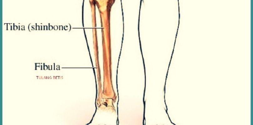 Fungsi Tulang Betis