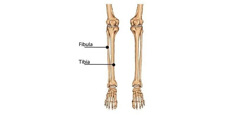Anatomi Tulang Betis